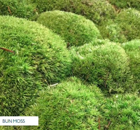 Bun Moss
