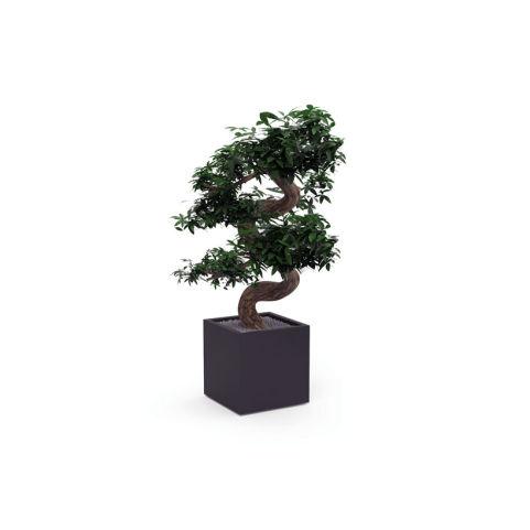 PLANTS-FICUS